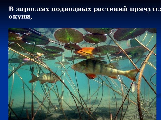 В зарослях подводных растений прячутся: окуни,