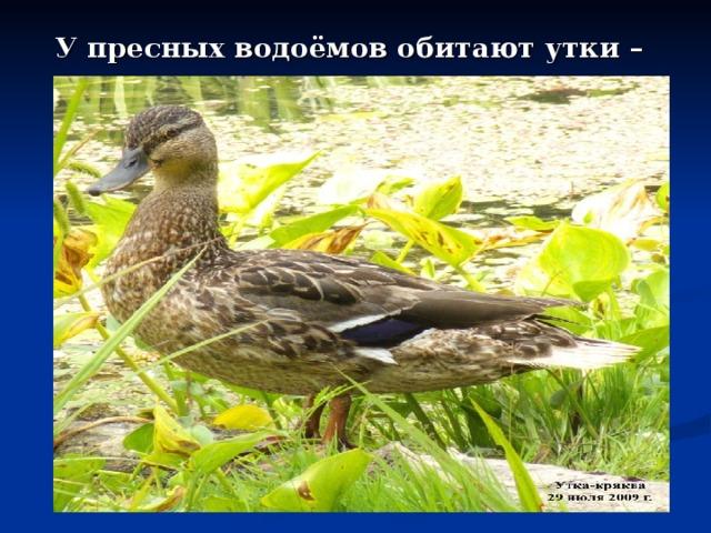 У пресных водоёмов обитают утки –кряквы.