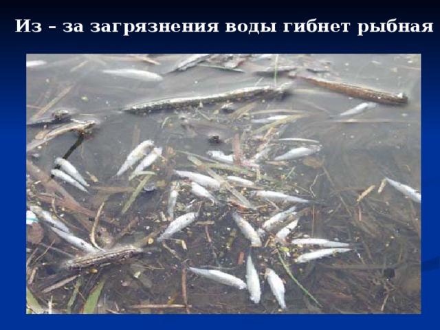 Из – за загрязнения воды гибнет рыбная молодь.