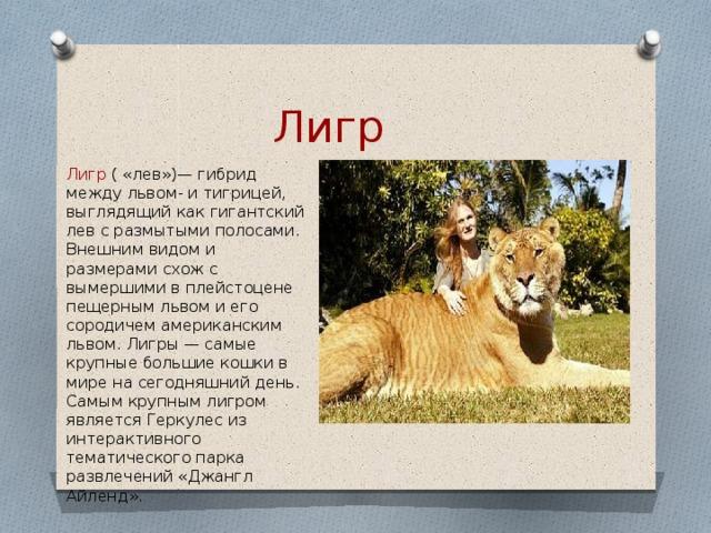 Лигр  Лигр ( «лев»)— гибрид между львом- и тигрицей, выглядящий как гигантский лев с размытыми полосами. Внешним видом и размерами схож с вымершими в плейстоцене пещерным львом и его сородичем американским львом. Лигры — самые крупные большие кошки в мире на сегодняшний день. Самым крупным лигром является Геркулес из интерактивного тематического парка развлечений «Джангл Айленд».