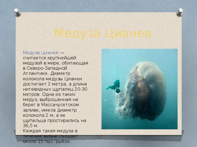 Медуза Цианея Медуза Цианея — считается крупнейшей медузой в мире, обитающая в Северо-Западной Атлантике. Диаметр колокола медузы Цианеи достигает 2 метра, а длина нитевидных щупалец 20-30 метров. Одна из таких медуз, выброшенная на берег в Массачусетском заливе, имела диаметр колокола 2 м, а ее щупальца простирались на 36,5 м. Каждая такая медуза в течение жизни съедает около 15 тыс. рыбок.