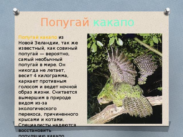 Попугай  какапо  Попугай какапо из Новой Зеландии, так же известный, как совиный попугай — вероятно, самый необычный попугай в мире. Он никогда не летает, весит 4 килограмма, каркает противным голосом и ведет ночной образ жизни. Считается вымершим в природе видом из-за экологического перекоса, причиненного крысами и котами. Специалисты надеются восстановить популяцию какапо ,.