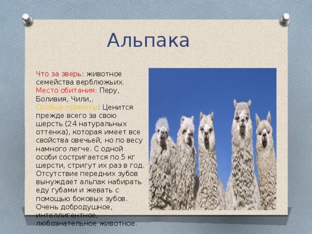 Альпака  Что за зверь : животное семейства верблюжьих.  Место обитания: Перу, Боливия, Чили,.  Особые приметы : Ценится прежде всего за свою шерсть (24 натуральных оттенка), которая имеет все свойства овечьей, но по весу намного легче. С одной особи состригается по 5 кг шерсти, стригут их раз в год. Отсутствие передних зубов вынуждает альпак набирать еду губами и жевать с помощью боковых зубов. Очень добродушное, интеллигентное, любознательное животное.