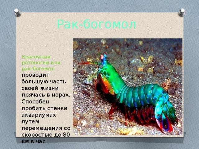 Рак-богомол Красочный ротоногий или рак-богомол проводит большую часть своей жизни прячась в норах. Способен пробить стенки аквариумах путем перемещения со скоростью до 80 км в час