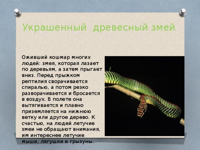 Украшенный древесный змей Оживший кошмар многих людей: змея, которая лазает по деревьям, а затем прыгает вниз. Перед прыжком рептилия сворачивается спиралью, а потом резко разворачивается и бросается в воздух. В полете она вытягивается и плавно приземляется на нижнюю ветку или другое дерево. К счастью, на людей летучие змеи не обращают внимания, им интереснее летучие мыши, лягушки и грызуны.