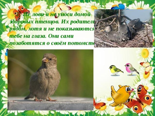 2 . Не лови и не уноси домой здоровых птенцов. Их родители рядом, хотя и не показываются тебе на глаза. Они сами позаботятся о своём потомстве .