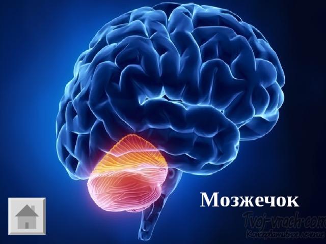 И - 1 Отдел нервной системы, координирующий движение. Мозжечок