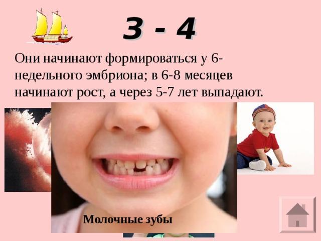 З - 4 Они начинают формироваться у 6-недельного эмбриона; в 6-8 месяцев начинают рост, а через5-7 лет выпадают.   Молочные зубы