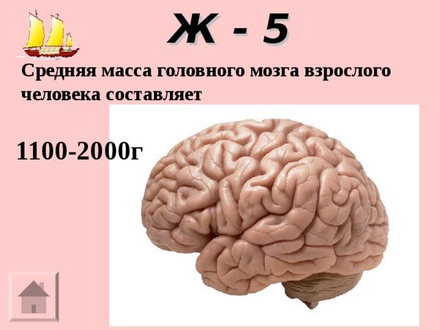 Ж - 5 Средняя масса головного мозга взрослого человека составляет  1100-2000г