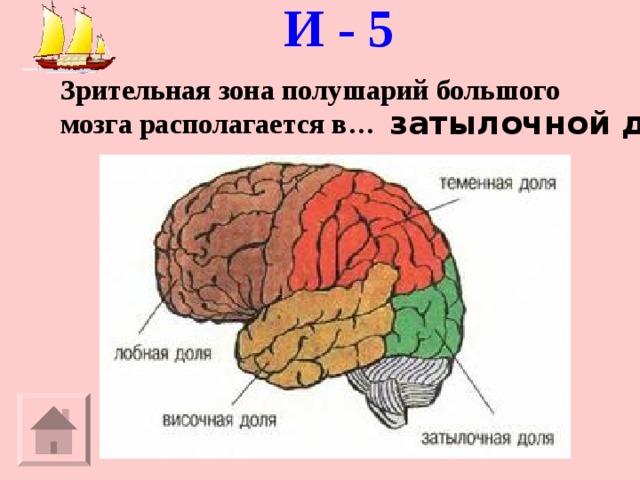 И - 5   Зрительная зона полушарий большого мозга располагается в… затылочной доле