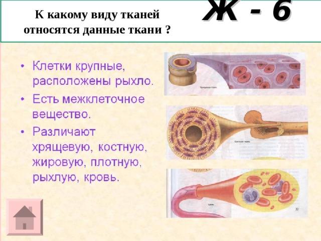 К какому виду тканей относятся данные ткани ? Ж - 6