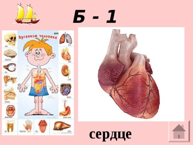 Б - 1  Полый мышечный орган, разделенный внутри на четыре камеры. сердце