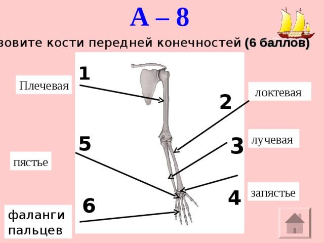 А – 8    Назовите кости передней конечностей (6 баллов) 1 Плечевая  локтевая 2 лучевая 5 3 пястье запястье 4 6 фаланги пальцев
