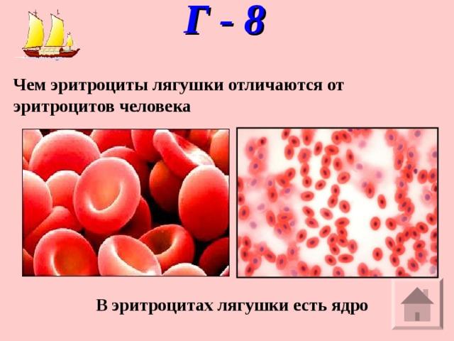 Г - 8   Чем эритроциты лягушки отличаются от эритроцитов человека В эритроцитах лягушки есть ядро