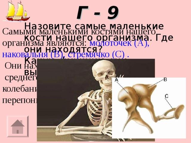 Г - 9 Назовите самые маленькие кости нашего организма. Где они находятся? Какую функцию они выполняют? Самыми маленькими костями нашего организма являются: молоточек (А), наковальня (В), стремячко (С) .  Они находятся в полости  среднего уха и усиливают колебания барабанной перепонки в 50 раз.