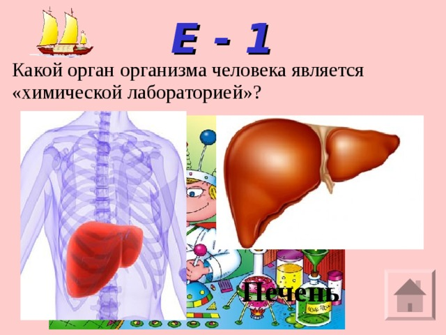 Е - 1 Какой орган организма человека является «химической лабораторией»? Печень