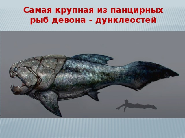Самая крупная из панцирных рыб девона - дунклеостей