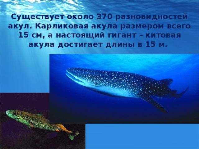 Существует около 370 разновидностей акул. Карликовая акула размером всего 15 см, а настоящий гигант – китовая акула достигает длины в 15 м.