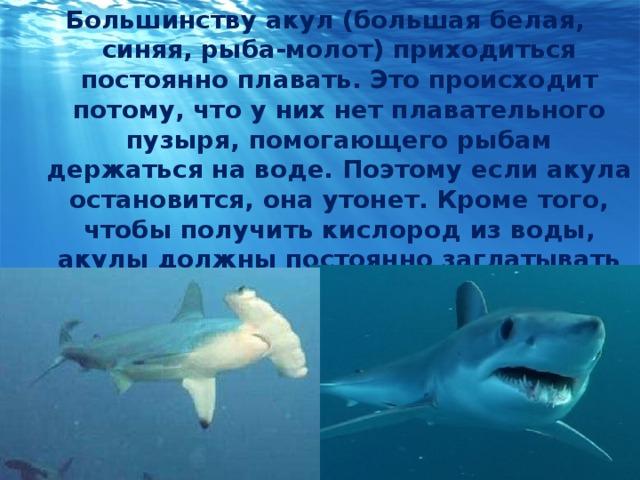 Большинству акул (большая белая, синяя, рыба-молот) приходиться постоянно плавать. Это происходит потому, что у них нет плавательного пузыря, помогающего рыбам держаться на воде. Поэтому если акула остановится, она утонет. Кроме того, чтобы получить кислород из воды, акулы должны постоянно заглатывать воду и пропускать ее через жабры.