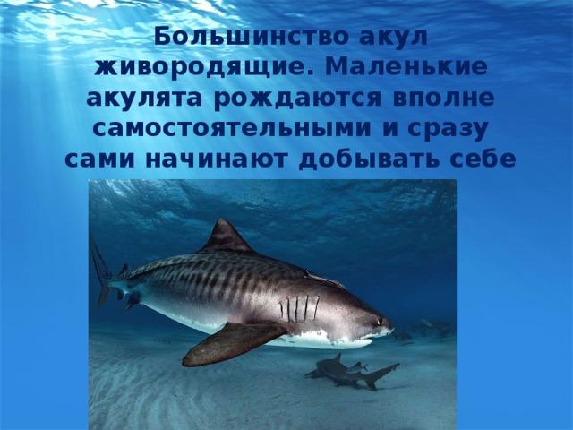 Большинство акул живородящие. Маленькие акулята рождаются вполне самостоятельными и сразу сами начинают добывать себе пропитание.