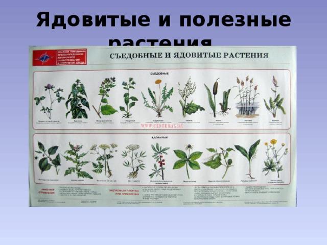 Ядовитые и полезные растения
