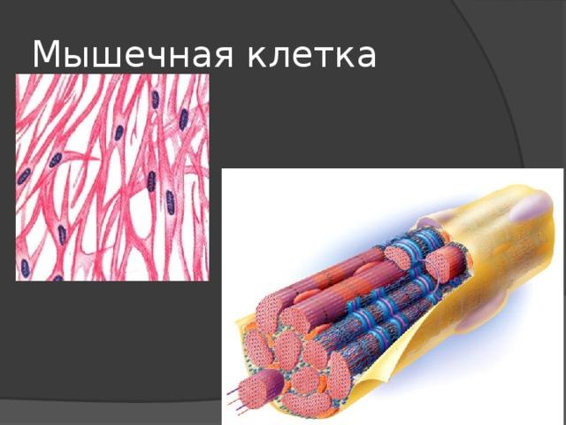 Мышечная клетка
