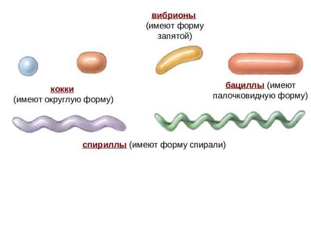 вибрионы  (имеют форму запятой) бациллы (имеют палочковидную форму) вибрионы  кокки  (имеют округлую форму) спириллы (имеют форму спирали)
