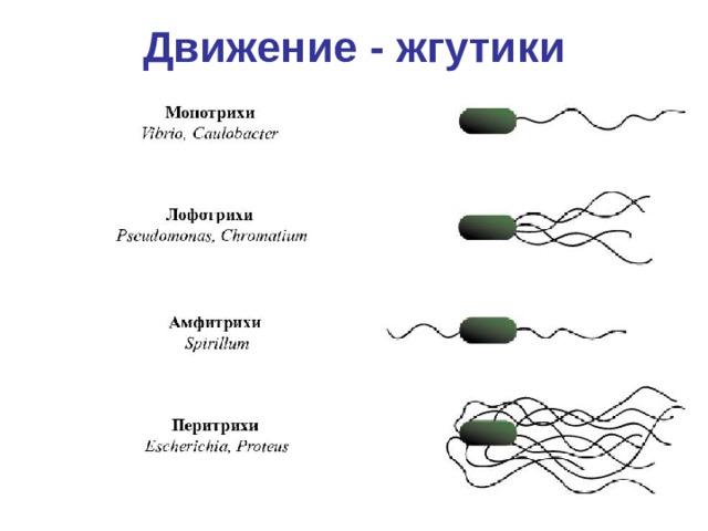 Движение - жгутики