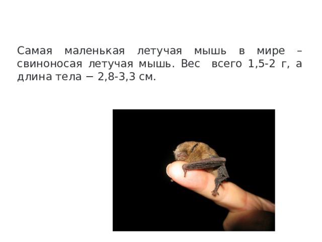 Самая маленькая летучая мышь в мире – свиноносая летучая мышь. Вес всего 1,5-2 г, а длина тела − 2,8-3,3 см.