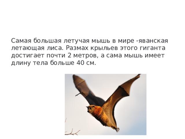 Самая большая летучая мышь в мире -яванская летающая лиса. Размах крыльев этого гиганта достигает почти 2 метров, а сама мышь имеет длину тела больше 40 см.