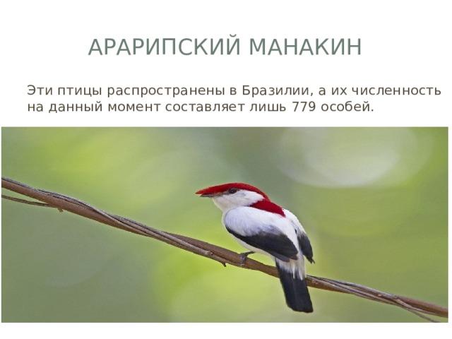 Арарипский манакин Эти птицы распространены в Бразилии, а их численность на данный момент составляет лишь 779 особей.