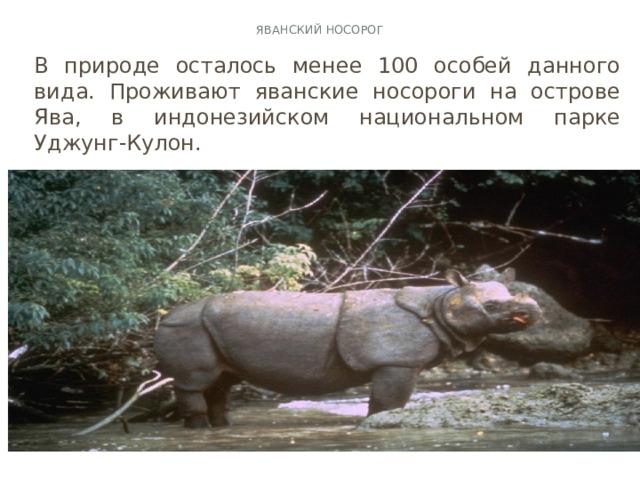 Яванский носорог   В природе осталось менее 100 особей данного вида. Проживают яванские носороги на острове Ява, в индонезийском национальном парке Уджунг-Кулон.