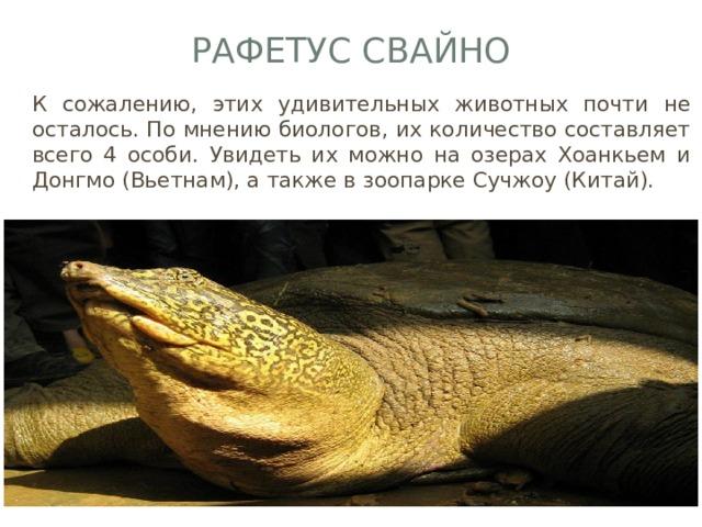 Рафетус Свайно К сожалению, этих удивительных животных почти не осталось. По мнению биологов, их количество составляет всего 4 особи. Увидеть их можно на озерах Хоанкьем и Донгмо (Вьетнам), а также в зоопарке Сучжоу (Китай).