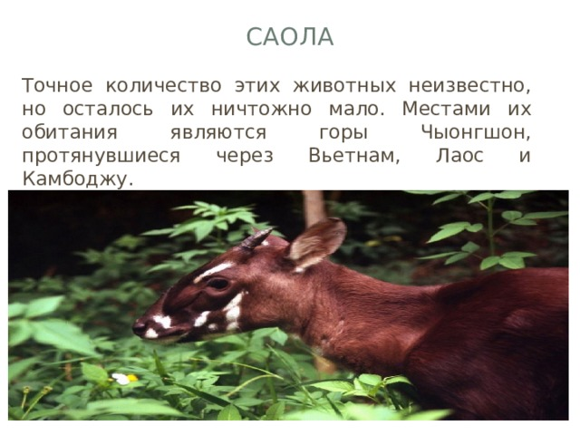 Саола Точное количество этих животных неизвестно, но осталось их ничтожно мало. Местами их обитания являются горы Чыонгшон, протянувшиеся через Вьетнам, Лаос и Камбоджу.