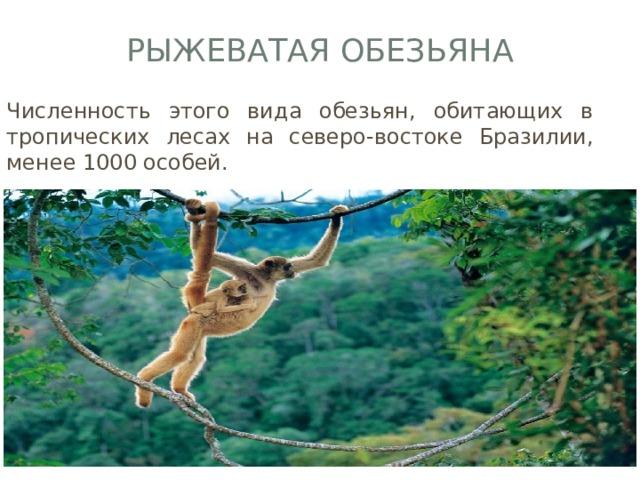 Рыжеватая обезьяна Численность этого вида обезьян, обитающих в тропических лесах на северо-востоке Бразилии, менее 1000 особей.