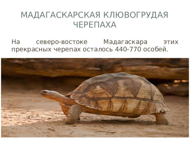 Мадагаскарская клювогрудая черепаха На северо-востоке Мадагаскара этих прекрасных черепах осталось 440-770 особей.