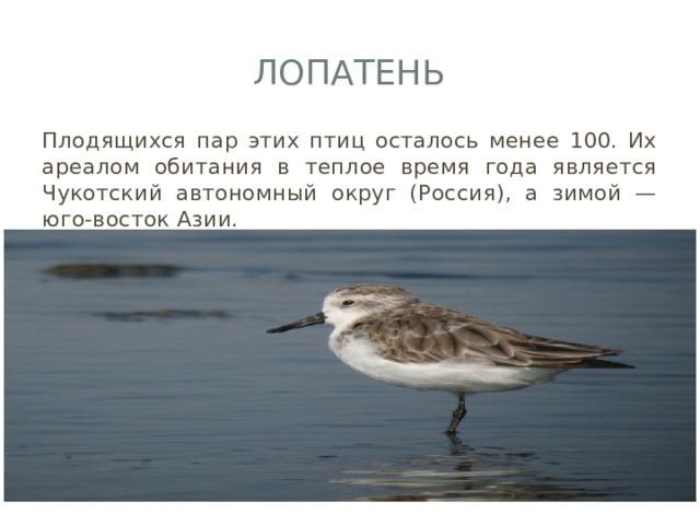 Лопатень Плодящихся пар этих птиц осталось менее 100. Их ареалом обитания в теплое время года является Чукотский автономный округ (Россия), а зимой — юго-восток Азии.