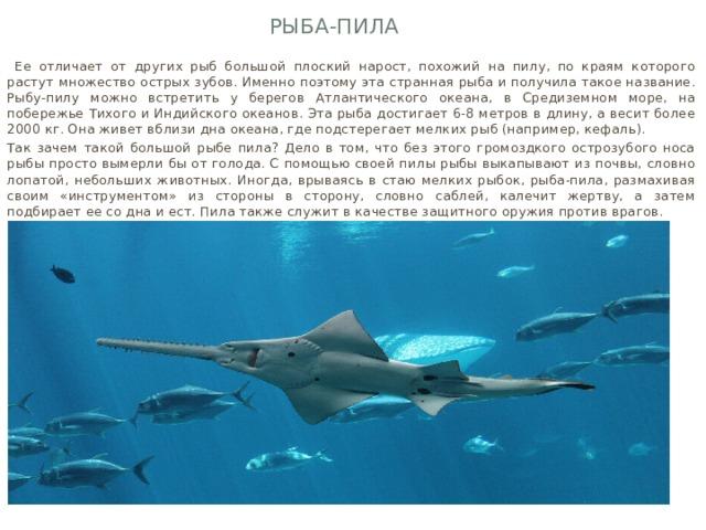 Рыба-пила  Ее отличает от других рыб большой плоский нарост, похожий на пилу, по краям которого растут множество острых зубов. Именно поэтому эта странная рыба и получила такое название. Рыбу-пилу можно встретить у берегов Атлантического океана, в Средиземном море, на побережье Тихого и Индийского океанов. Эта рыба достигает 6-8 метров в длину, а весит более 2000 кг. Она живет вблизи дна океана, где подстерегает мелких рыб (например, кефаль). Так зачем такой большой рыбе пила? Дело в том, что без этого громоздкого острозубого носа рыбы просто вымерли бы от голода. С помощью своей пилы рыбы выкапывают из почвы, словно лопатой, небольших животных. Иногда, врываясь в стаю мелких рыбок, рыба-пила, размахивая своим «инструментом» из стороны в сторону, словно саблей, калечит жертву, а затем подбирает ее со дна и ест. Пила также служит в качестве защитного оружия против врагов.