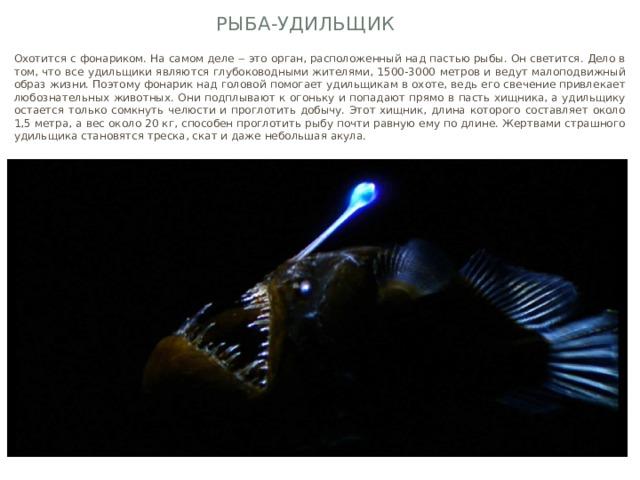 Рыба-удильщик Охотится с фонариком. На самом деле ‒ это орган, расположенный над пастью рыбы. Он светится. Дело в том, что все удильщики являются глубоководными жителями, 1500-3000 метров и ведут малоподвижный образ жизни. Поэтому фонарик над головой помогает удильщикам в охоте, ведь его свечение привлекает любознательных животных. Они подплывают к огоньку и попадают прямо в пасть хищника, а удильщику остается только сомкнуть челюсти и проглотить добычу. Этот хищник, длина которого составляет около 1,5 метра, а вес около 20 кг, способен проглотить рыбу почти равную ему по длине. Жертвами страшного удильщика становятся треска, скат и даже небольшая акула.
