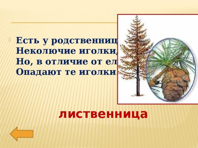 Есть у родственницы елки  Неколючие иголки,  Но, в отличие от елки,  Опадают те иголки.