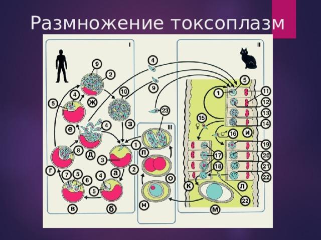 Размножение токсоплазм