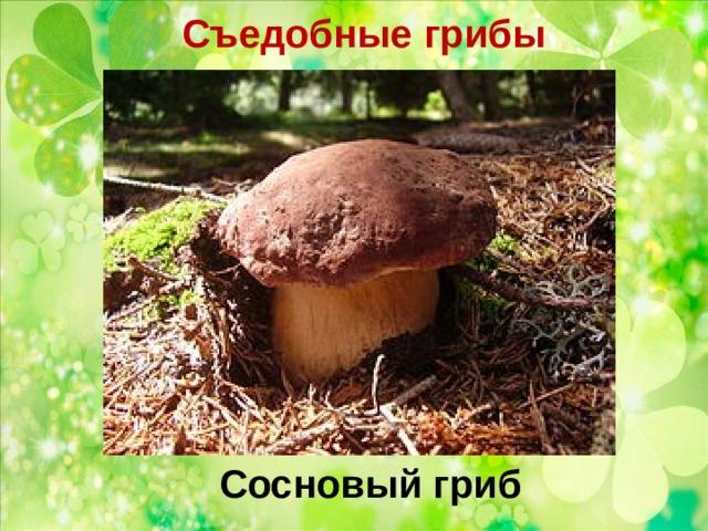 Съедобные грибы   Сосновый гриб