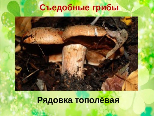 Съедобные грибы   Рядовка тополёвая