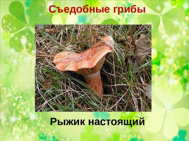 Съедобные грибы   Рыжик настоящий