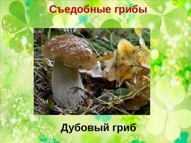 Съедобные грибы   Дубовый гриб