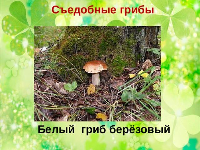 Съедобные грибы   Белый гриб берёзовый