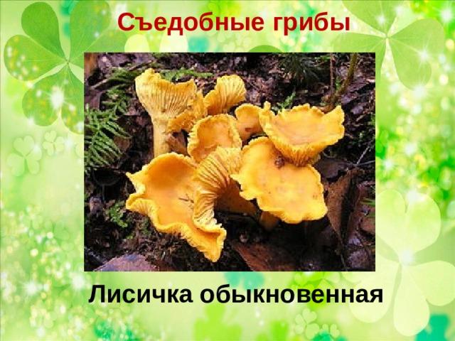 Съедобные грибы   Лисичка обыкновенная