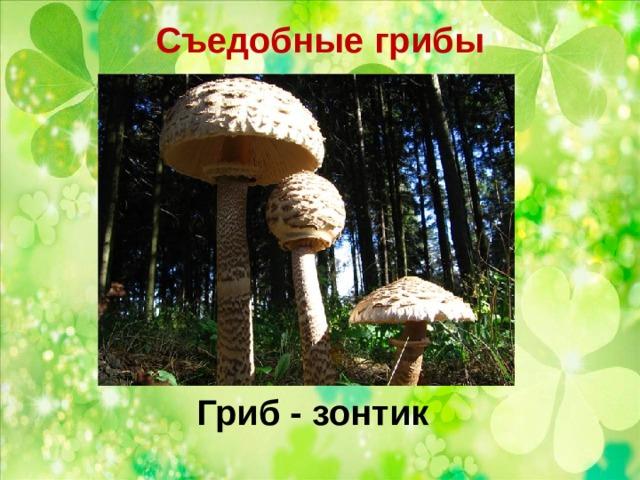 Съедобные грибы   Гриб - зонтик
