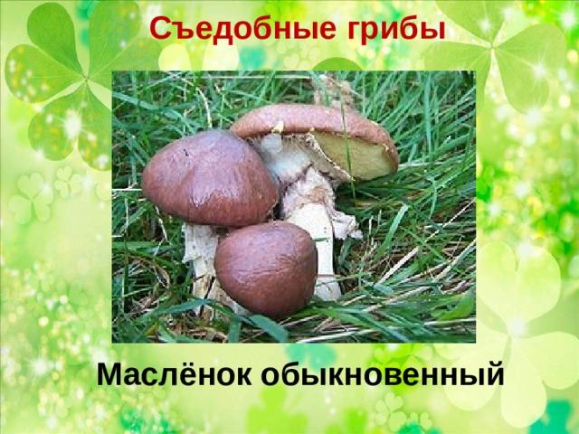 Съедобные грибы   Маслёнок обыкновенный