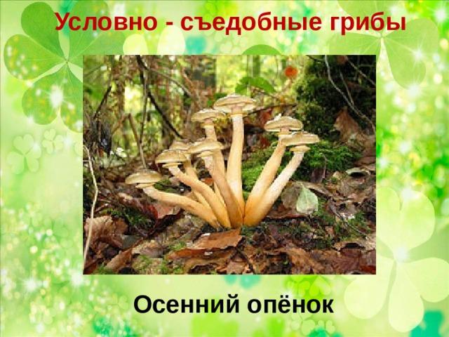 Условно - съедобные грибы   Осенний опёнок
